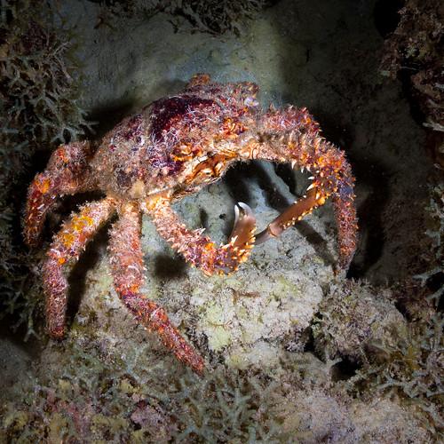bonaire crab elegancia underwater caribbean scuba diving night reef nauticam