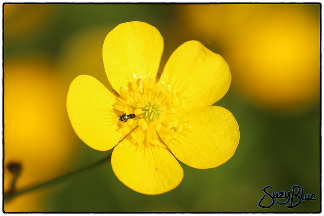 Buttercup (with hiding beetle!)