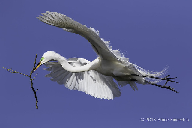 Great Egret In Breeding Plumage Carrying A Stick For Nest Building