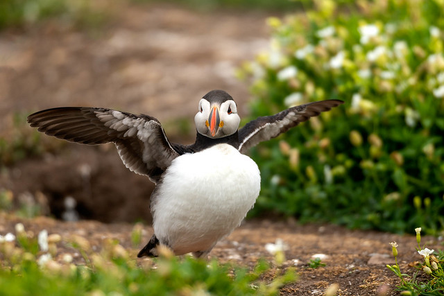 Puffin, Inner Farne, Farne Islands, Northumberland, UK (1)
