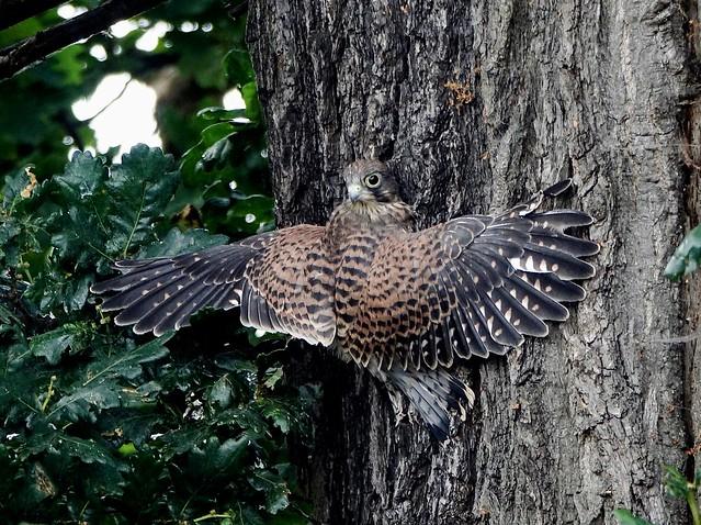 Tree Creeping Young KESTREL