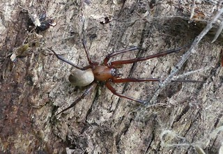 Sheet Web Spider - Chris Chadwick