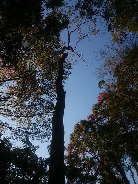 Pau mulato