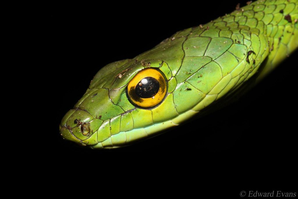 Parrot Snake (Leptophis ahaetulla)