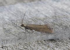 Glyphipterix thrasonella Tophill Low NR, East Yorkshire June 2018