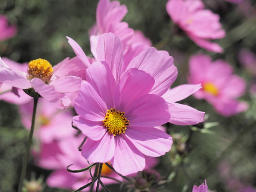 Cosmos bipinnatus, commonly called the garden cosmos or Mexican aster | by huislaw