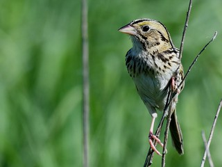 Henslow's sparrow | by U.S. Fish and Wildlife Service - Midwest Region