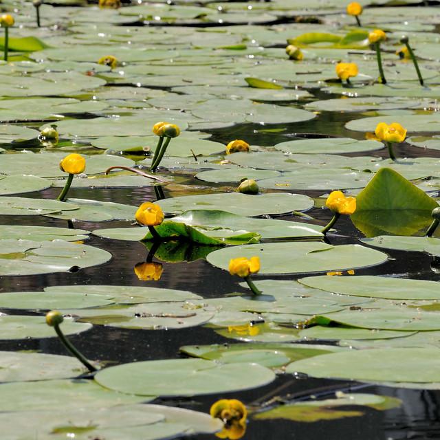 4749 Am Ufer des Billbrookkanals bedecken gelbe Teichrosen / Teichmummel (Nuphar lutea) das Wasser.