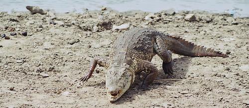 cocodrilo de Paga