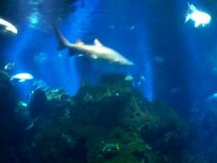 Sharks Tail