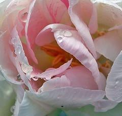 49 Angelique tulip