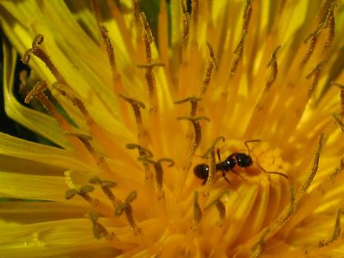 Ant on dandelion