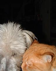 white dog & orange cat, heads together