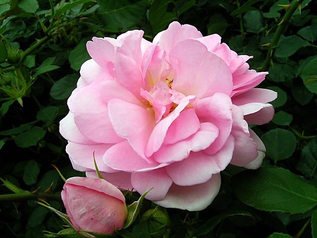 Rose:Masako.