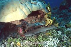 Tubarao-lambaru em recife de coral
