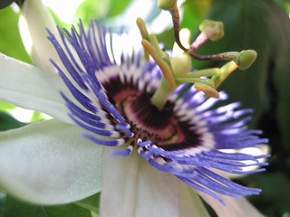 Passion Flower opens | by inajeep