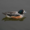 Chiloe wigeon by simpologist