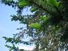 fresh spruce