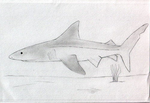 shark-sketch