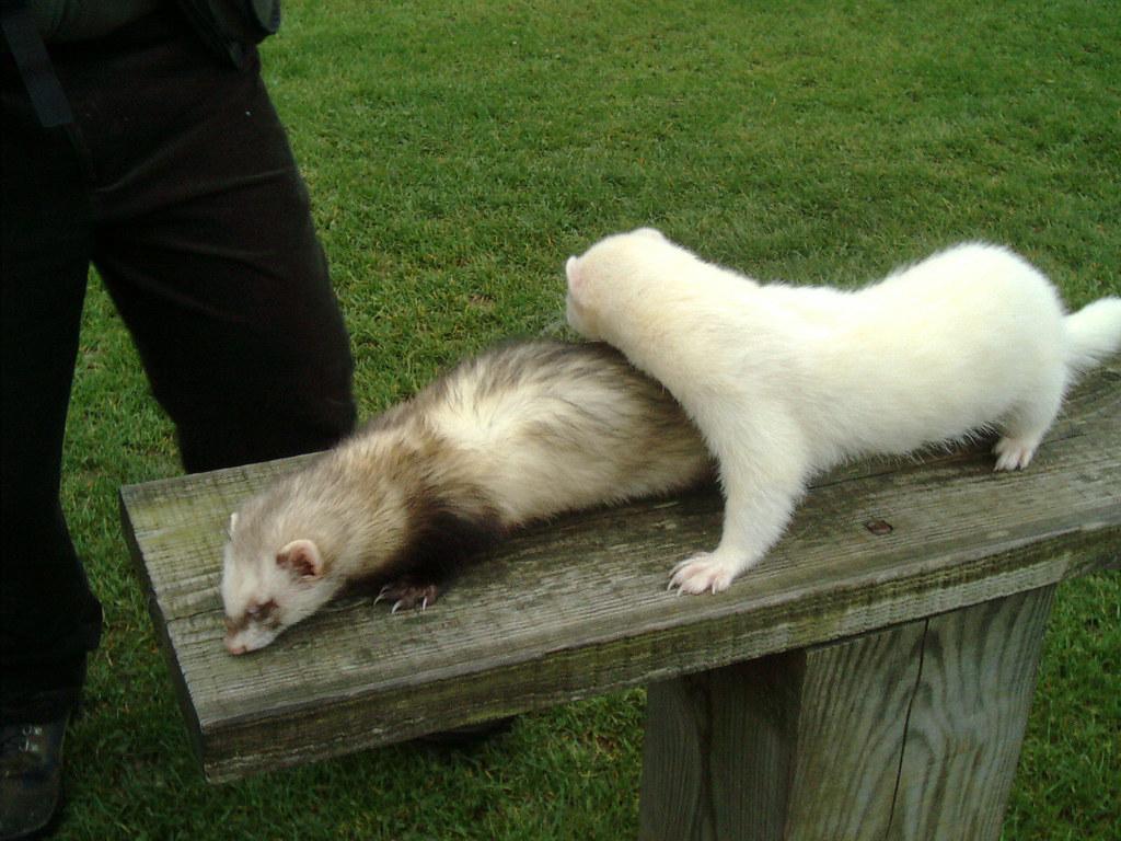 Image result for ferrets