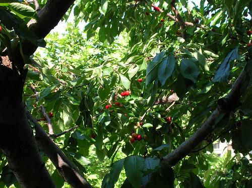 Il ciliegio dietro casa - Dettaglio