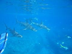 b-sharks