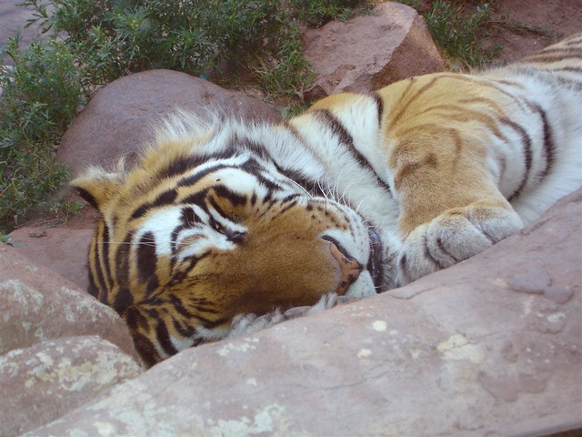 Front Window Tint >> Siberian Tiger   Close shot of the sleeping Amur (Siberian) …   Flickr