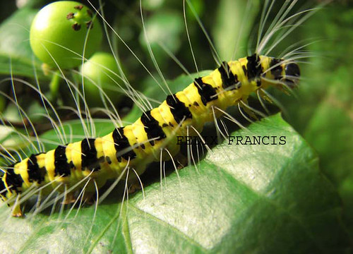black striped yellow catterpillar