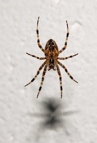 Garden Spider by Dirk Paessler
