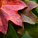 Fall spectrum:  the colors of leaves