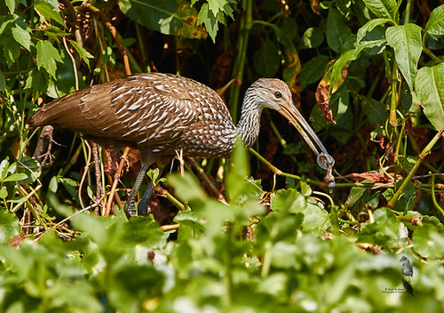 Limpkin (Aramus guarauna) 2747.jpg | by Janet M. Heintz / Photography & Digital Art