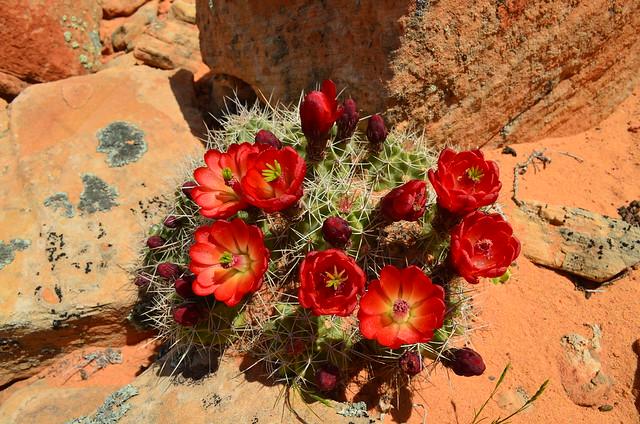 Claret Cactus by Nina