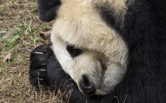 Ying Ying, Dujiangyan Panda Base, Shiqiao (Qingchengshan), Dujiangyan, Sichuan, China