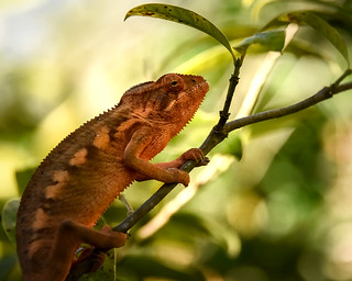 Chameleon | by Rod Waddington