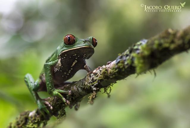 Rana lemur/ Tarsier Monkey- Frog (Phyllomedusa tarsius)