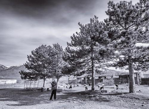 blackwhite albania bw ll pine sheep trees shepherd lightland