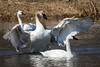 Trumpeter Swan Harassing Tundra Swan by jrp76