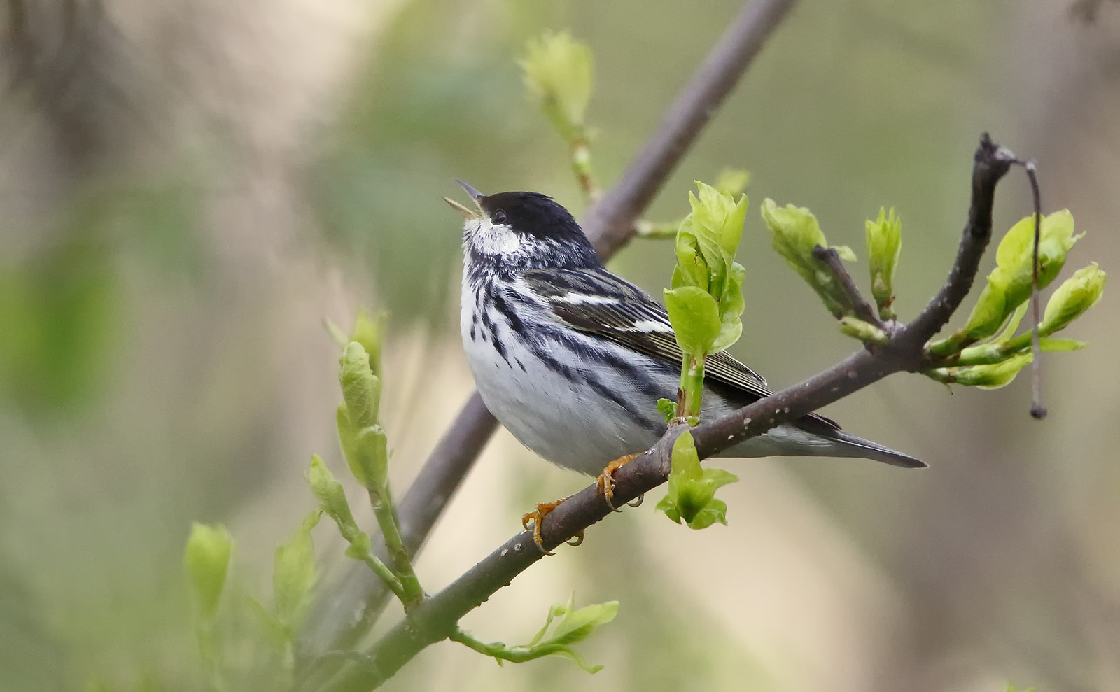 Blackpoll Warbler [male]