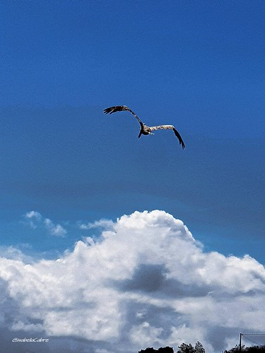 blue ambiance vacation carribeanlifestyle fun beauty islands carribean pelican sky bird bluesky flight guadeloupe feelinggood ansealabarque love retourauxsources nature sunnysky cloud grace backhome travel