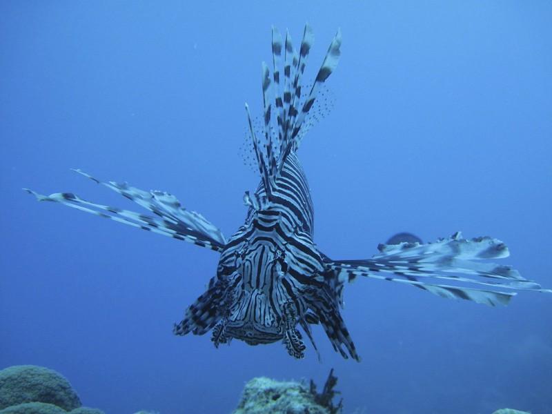 St. Croix Lionfish