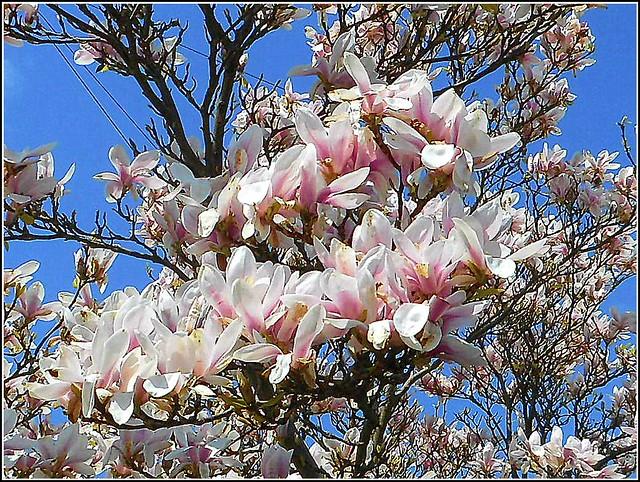 Lovely Magnolia Tree..