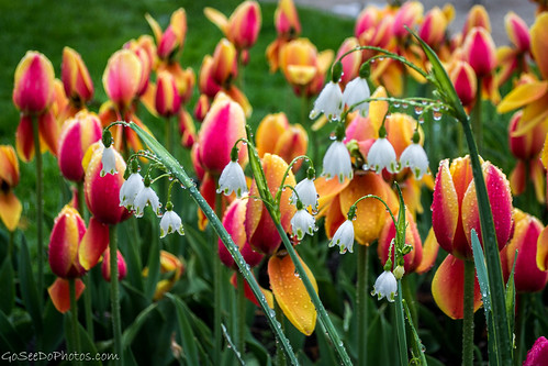 Lily of the Tulips | by Go See Do Photos
