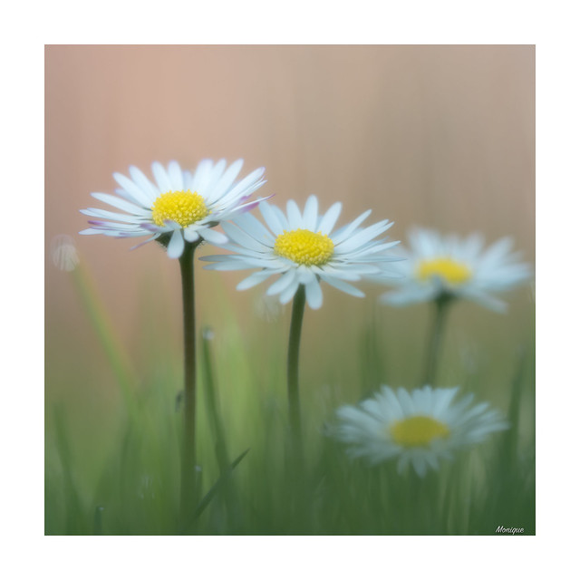 Daisy softness.