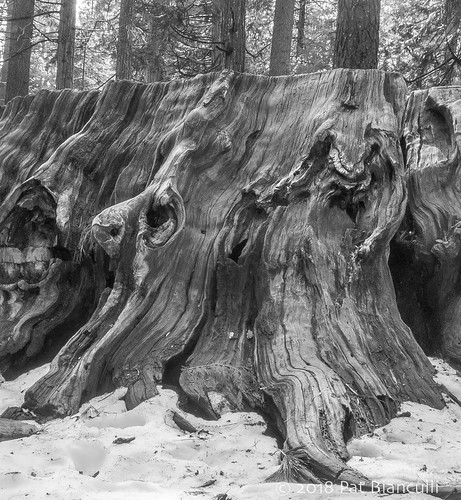 Sequoia Faces-00964 | by Pat Bianculli