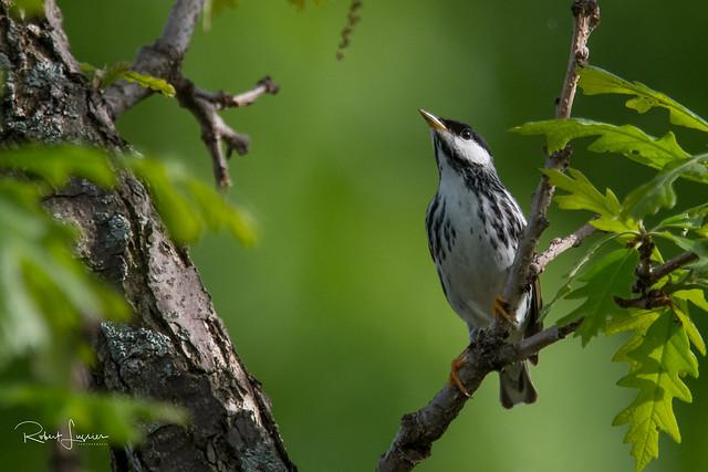 Paruline rayée / Blackpoll Warbler