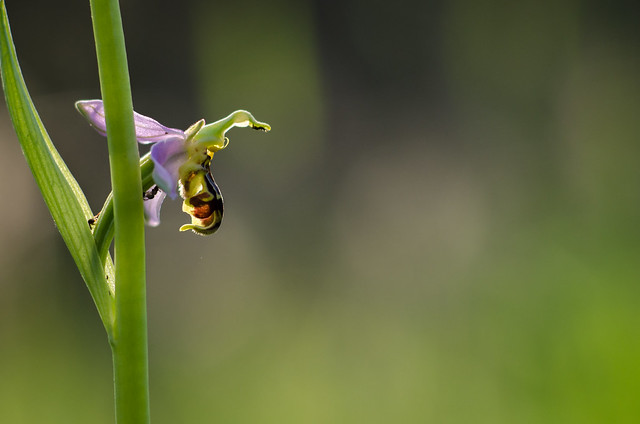 Orchid in my garden, maybe is Ophrys bourdon