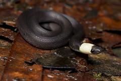 South American Coffee Snake-Ninia atrata