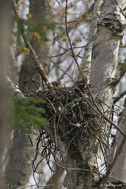 1.02853 Petite Buse (sur son nid) / Buteo platypterus platypterus / Broad-winged Hawk