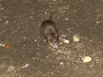 brown rat looking up at camera sitting on the ground strewn with pebbles and seeds