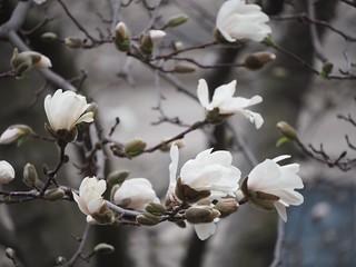 Star Magnolia シデコブシ | by lulun & kame